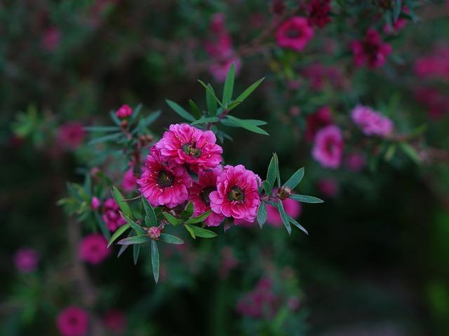 New Zealand Manuka Flower
